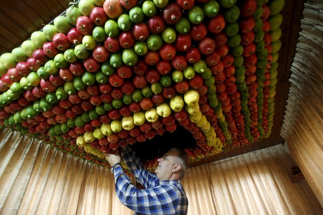 A member of the Samaritan sect decorates a traditional hut known as a sukkah with fruits and vegetables on Mount Gerizim, on the outskirts of the West Bank city of Nablus, October 25, 2015. (Photo by Abed Omar Qusini/Reuters)