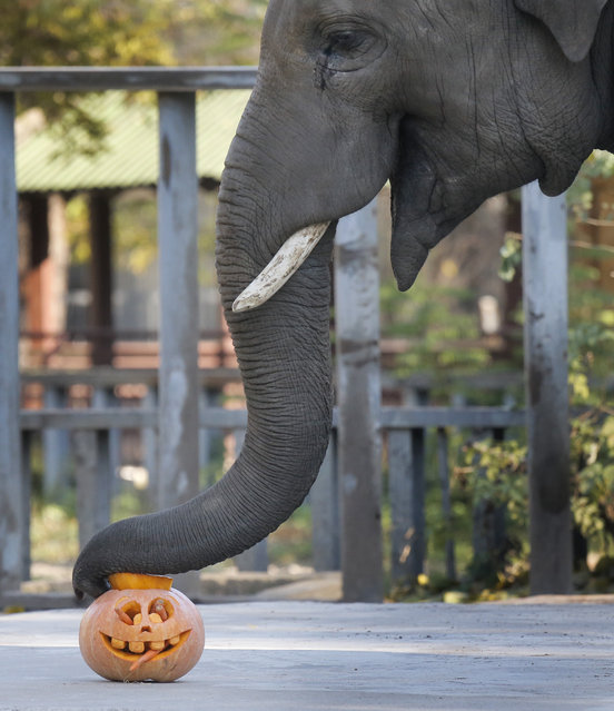 A elephant investigates a Halloween lantern at the Zoo in Kiev, Ukraine, Thursday, October 29, 2015.  The zoo hid food in the lanterns made from pumpkins, to many animals as the zoo marks Halloween. (Photo by Efrem Lukatsky/AP Photo)