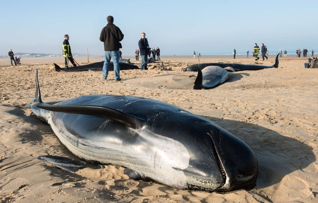 Firefighters and animal rescuers gather around long-finned pilots stranded on a beach in the northern French city of Calais on November 2, 2015. Ten beached whales, including a dominant male of 4,5m in length, were discovered in the early morning. Six of the whales had already died by the time firefighters and members of the local Animal Protection League (LPA) got to the scene, but they were able to revive four of the mammals, including two calves, and helped them return to the sea. (Photo by Denis Charlet/AFP Photo)