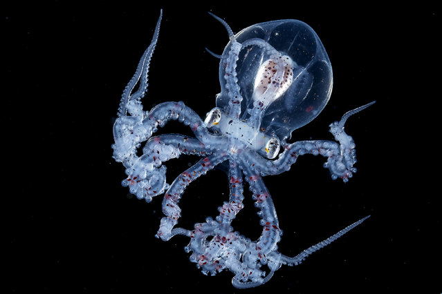 Wunderpus larva. (Photo by Ace Wu/Caters News Agency)