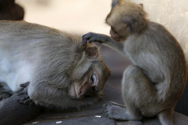 Long-tailed macaques are seen at the Pra Prang Sam Yot temple before the annual Monkey Buffet Festival in Lopburi, north of Bangkok November 29, 2015. (Photo by Jorge Silva/Reuters)