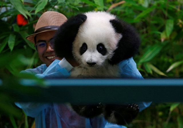 A zoo employee carries the four-month-old female giant panda cub, born to mother Liang Liang and father Xing Xing, on display to the public for the first time at the National Zoo in Kuala Lumpur, Malaysia May 26, 2018. (Photo by Lai Seng Sin/Reuters)