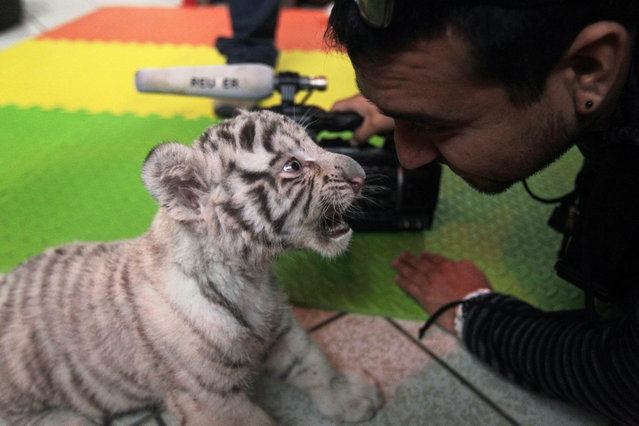 A white Bengal tiger cub plays with a cameraman during a press presentation at Huachipa's private Zoo in Lima August 5, 2013. The 41-day-old, yet unnamed cub was born at the park and is the first white Bengal tiger in Peru to have been born in captivity. (Photo by Mariana Bazo/Reuters)