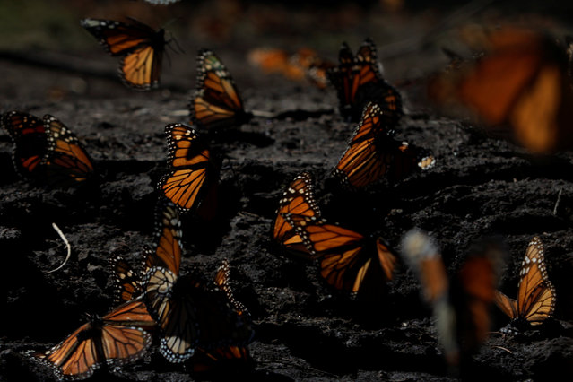 Monarch butterflies rest on the ground at the Sierra Chincua butterfly sanctuary on a mountain in Angangeo, Michoacan November 24, 2016. (Photo by Carlos Jasso/Reuters)