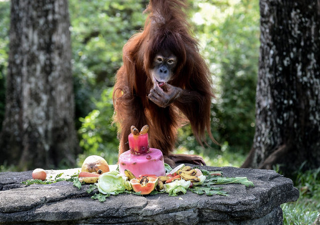 Tsunami, an eleven year old female Sumatran Orangutan eats a fruit platter during her birthday celebration at the National Zoo Ape Center in Kuala Lumpur, Malaysia, Thursday, December 31, 2015. (Photo by Manan Vatsyayana/AFP Photo)