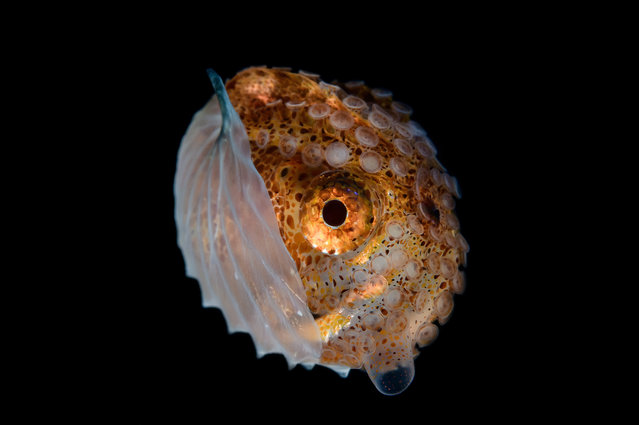 An Argonaut Hians (Paper Nautilus) from the deep waters around Anilao, Philippines. (Photo by Cai Songda/Caters News Agency)