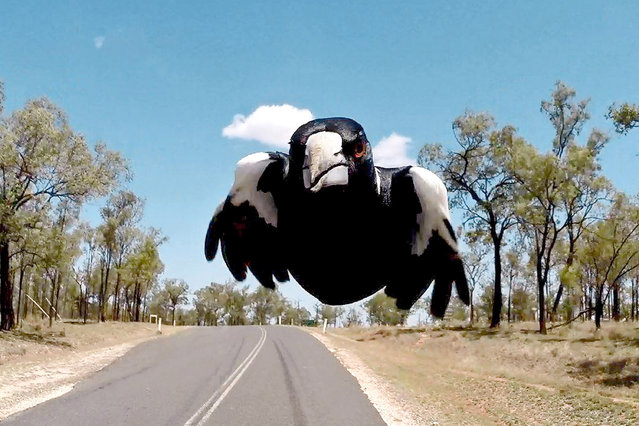 This perfectly-timed GoPro snap captures the moment an angrymagpiecame within inches of a biker, as swooping season takes hold in Australia. The notoriously aggressive bird can be seen flying with its wings tucked in so it looks exactly like a torpedo in the magnificent photograph from Middlemount, Queensland. Retail businesswoman Monique Newton, 53 was riding pillion with a friend when she spied the divebombing bird – but rather than speed off, they slowed down to capture it up close. (Photo by Monique Newton/Caters News Agency)