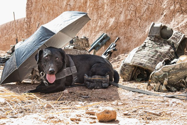 """Jamie captures a military working dog taking a rest from the heat in """"Hot Under the Collar"""". (Photo by Jamie Peters/PA Wire)"""