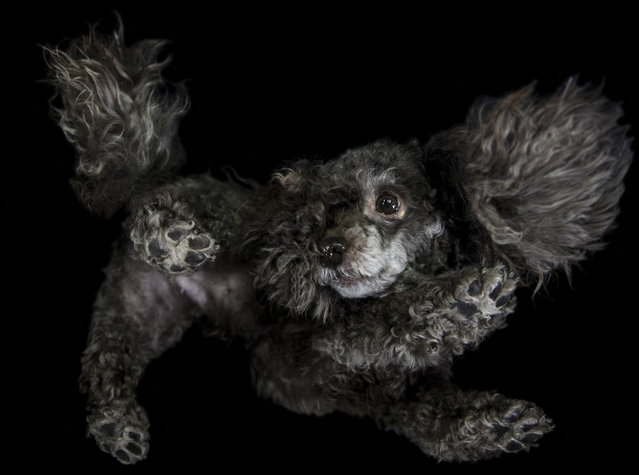 A photograph of a poodle taken from underneath on December 2016 in VA, Canada. (Photo by The Underdogs Project/Barcroft Images)