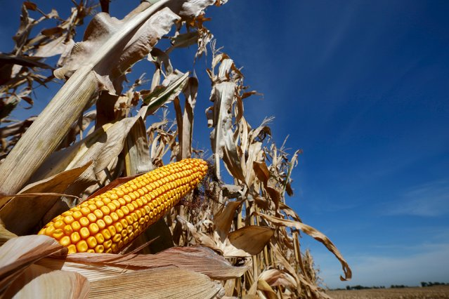 A cob of corn is seen in a field during the harvest in Minooka, Illinois, in this September 24, 2014, file photo. As the U.S. farming sector enters the third year of a downturn caused by a global glut of grains and slumping commodity prices, bankers across the Midwest are starting to tighten lending conditions and even cutting some clients off. Many corn and soybean farmers already are trying to adjust by selling off grain stockpiles, begging landlords to reduce rents and pleading with bankers to restructure debt and give them more time to pay it back. (Photo by Jim Young/Reuters)