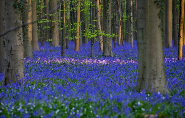 "Wild Bluebells form a carpet in the Hallerbos, also known as ""The Blue Forest"", near the Belgian city of Halle April 20, 2015. The forest is known for its flowers which bloom around mid-April turning the forest completely blue. (Photo by Yves Herman/Reuters)"