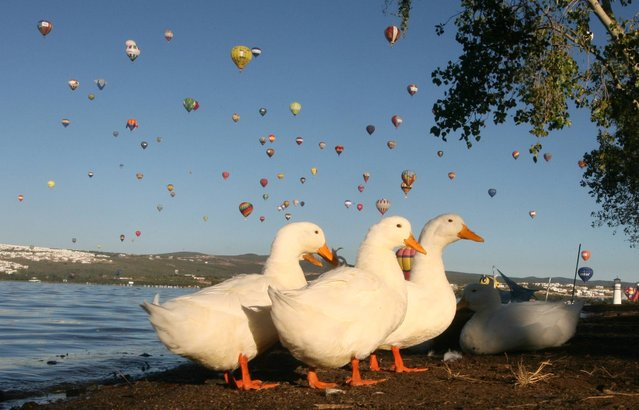 Geese walk on the shores of the Palote dam as balloons fly overhead during the last day of the Hot Air Balloon Festival in Leon, Mexico, Monday, November 18, 2013. (Photo by Mario Armas/AP Photo)