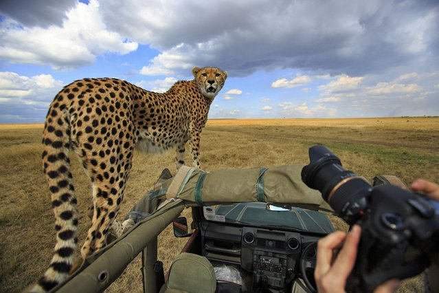 A cheetah left a group of tourists stunned – after jumping on top of their safari truck and using it as a vantage point to hunt for prey. (Photo by Caters News)