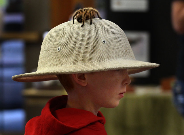 First grader Rydge Tibbett walks around wearing a pith helmet with a rose-haired tarantula on it at a presentation on the unusual powers of exotic animals in Marshfield, Wisc., Thursday, April 30, 2015. (Photo by Dan Young/AP Photo/The Marshfield News-Herald)