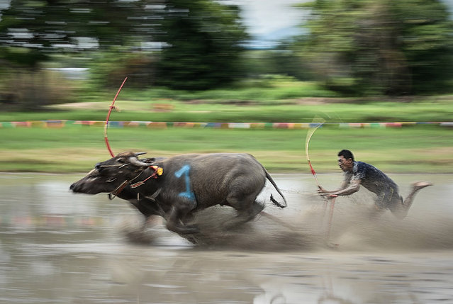 A jockey drives a buffalo in the annual water buffalo race, part of a week-long festival in homage to the animals and in celebration of the rice harvest in Chonburi, Thailand on April 1, 2016. (Photo by Vichaya Pop/Barcroft Media)