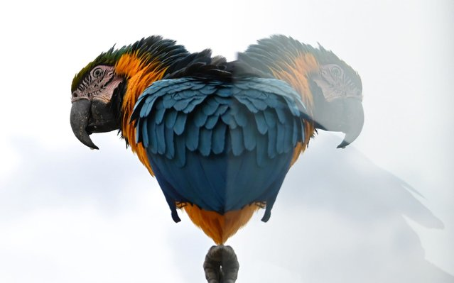 A wild blue-and-yellow macaw, or blue-and-gold macaw, is reflected on a protection on the top of a building in Caracas on May 23, 2019. (Photo by Marvin Recinos/AFP Photo)
