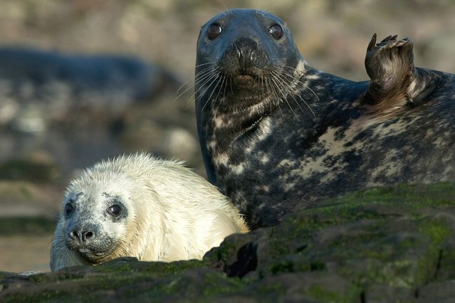 A seal and her pup. (Photo by Bill Doherty/National Pictures)