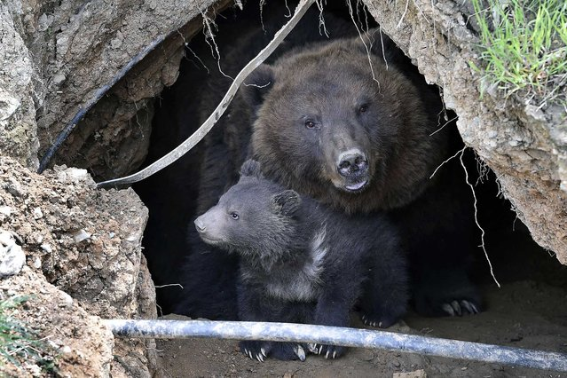 The three-month old Kamchatka brown bear cub enjoys fresh air in the zoo in Brno, Czech Republic, April 28, 2016. Cub´s mother Kamchatka and her partner Jelizar are orphans, once caught in the nature of Russia. (Photo by Vaclav Salek/CTK via ZUMA Press)