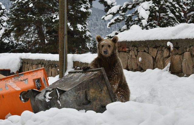 A baby grizzly bear, which didn't hibernate, searches for food around a trash container in Inonu neighbourhood in Sarikamis district of Turkey's northeastern Kars Province on December 15, 2018. (Photo by Huseyin Demirci/Anadolu Agency/Getty Images)