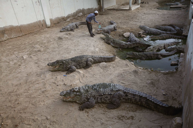 A man feeds pieces of meat offered by devotees to crocodiles at the Manghopir Sufi saint shrine on the outskirts of Karachi April 17, 2014. Visitors and devotees go to the shrine to pay respect to the Sufi saint, Pir Haji Syed Sakhi Sultan and to feed the crocodiles, as a tribute to the divine. (Photo by Athar Hussain/Reuters)