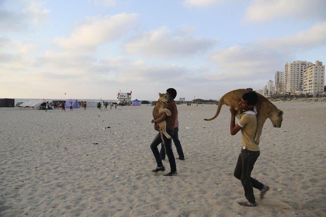In this Monday, June 15, 2015 photo, Ibrahim Al-Jamal, 17, and Ahmad Abu Jereda, 16, carry Mona and Max, the female and male lion cubs, as they walk at beach of Gaza City, in the northern Gaza Strip. (Photo by Adel Hana/AP Photo)