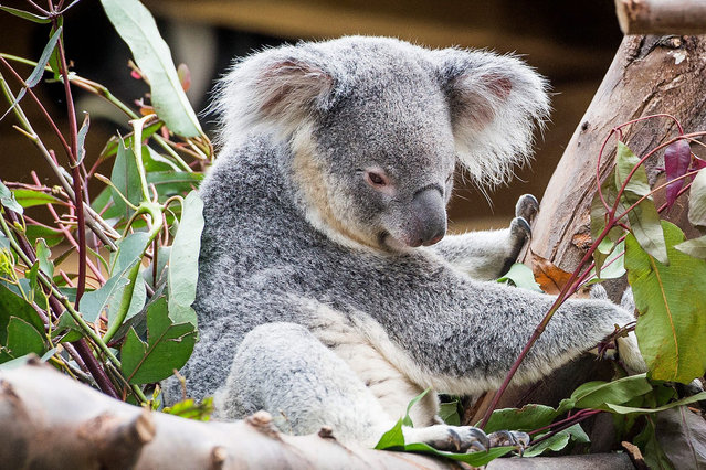 One of the three Koala bears at Pairi Daiza animal park in Brugelette, Belgium, 06 May 2016. The quarantine of Koalas Carina, Coco and Zeldat has ended and they are going on show to the public in at the zoo in Brugelette. The three arrived from Brisbane, Australia on 16 April 2016 as there arrival in Belgium was delayed by the Belgium terror attacks. (Photo by Stephanie Lecocq/EPA)
