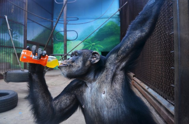 A chimpanzee drinks beverage to cool off the summer heat in Shenyang, Liaoning province, July 12, 2015. (Photo by Reuters/China Daily)