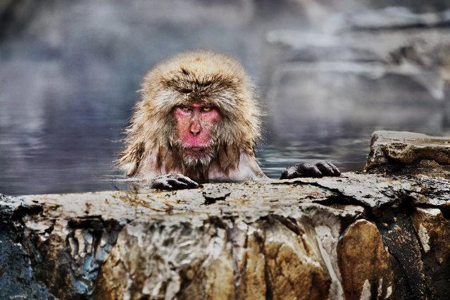 Snow monkey in Jigokudani Yaen-koen park, Yamanouchi, Japan, 2018. (Photo by Steve McCurry/The Guardian)