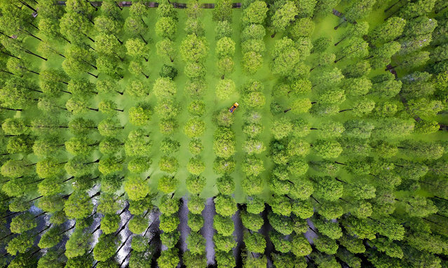 This aerial photo taken on August 3, 2019 shows tourists riding a boat among trees at Luyanghu Lake wetland park in Yangzhou in China's eastern Jiangsu province. (Photo by AFP Photo/China Stringer Network)