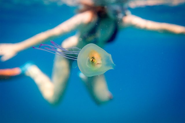 This undated handout picture taken by Tim Samuel and provided through his instagram account www.instagram.com/timsamuelphotography shows a small fish swimming inside the belly of a jellyfish off the coast of Byron Bay in New South Wales, eastern Australia. A fish has been pictured swimming inside a jellyfish off Australia's east coast in a remarkable and rare image that has gone viral, with more than two million online views. Underwater photographer Tim Samuel was in the water with a friend near popular tourist resort Byron Bay in December when they came across the little creature trapped inside the only slightly larger jellyfish. (Photo by Tim Samuel Photography/AFP Photo/Instagram)