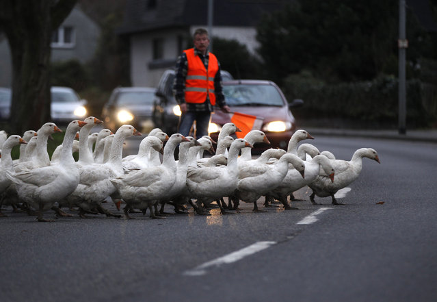 A farmer stops the traffic so his gaggle of geese can cross the road to get to their night time enclosure, in the western town of Duisburg December 8, 2011. (Photo by Ina Fassbender/Reuters)
