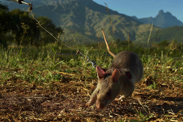 An African giant pouched rat sniffs for traces of landmine explosives at APOPO's training facility in Morogoro on June 17, 2016. (Photo by Carl De Souza/AFP Photo)