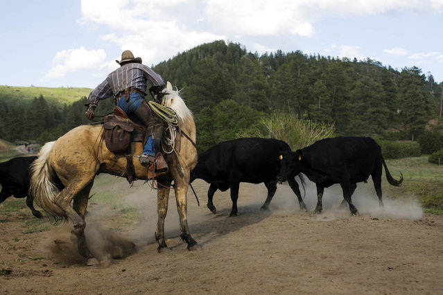 Cowboy Rollo Mangus works to cut mothers and their calves away from the larger herd near Ignacio, Colorado June 12, 2014. The land where the cattle graze is leased from the Forest Service by third-generation rancher Steve Pargin.  Several times a year, he and a crew led by his head cowboy, David Thompson, spend a week or more herding cattle from mountain range to mountain range to prevent them from causing damage to fragile ecosystems by staying in a single area too long. (Photo by Lucas Jackson/Reuters)