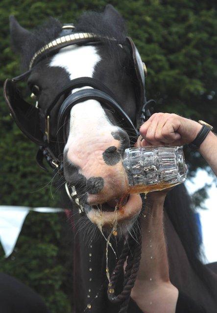 Barry Petherick gives Monty, the Wadworth brewery shire horse a pint of beer outside the Raven Inn in Poulshot as he starts his two-week annual holiday on August 3, 2012 near Devizes, England. (Photo by Matt Cardy)