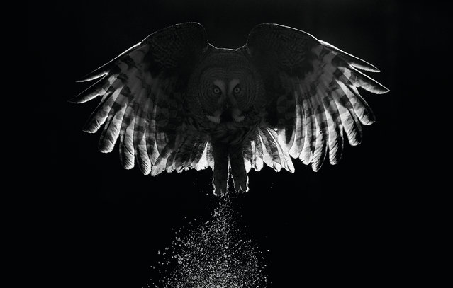 Twilight by Markus Varesvuo, Kuusamo, Finland. Best portfolio winner in the creative imagery category. A black-and-white study of the great grey owl (Strix nebulosa) in twilight of northeast Finland. (Photo by Markus Varesvuo/2017 Bird Photographer of the Year Awards)