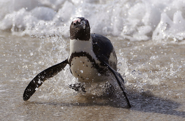 A Penguin runs out of the ocean after swimming at Boulders beach a popular tourist destination in Simon's Town, South Africa, Thursday, August 27, 2015. (Photo by Schalk van Zuydam/AP Photo)