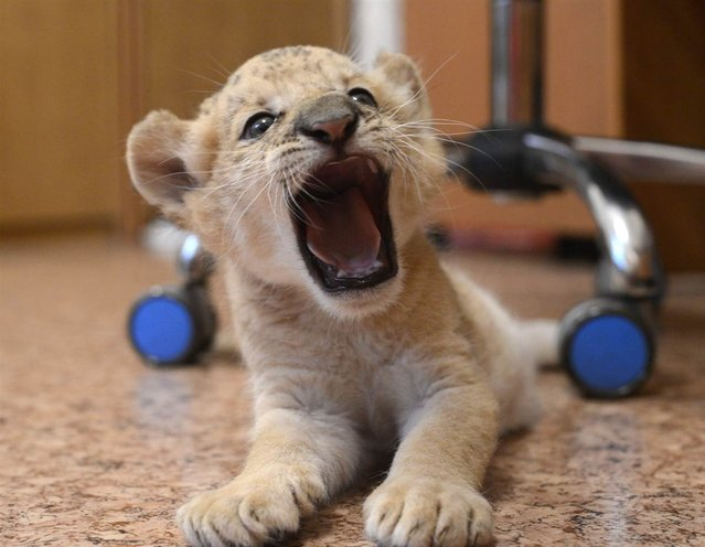 Female liliger cub Kiara, a hybrid between a lion and a ligress, roars at the Novosibirsk Zoo in eastern Siberia, on September 19, 2012. Born over a month ago, Kiara is the world's first female liliger, according to Zoo officials. Kiara's mother, Zita, stopped producing milk almost immediately after giving birth, so Zoo employees placed Kiara in a separate facility and feed her with a special milk mix. (Photo by Ilnar Salakhiev/AP Photo)
