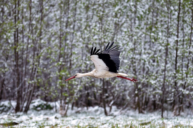 A stork flies past snow-covered bushes in the village of Kreva, some 100 km northwest of Minsk, on May 12, 2020. (Photo by Sergei Gapon/AFP Photo)