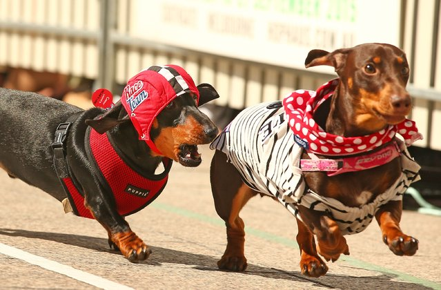 Cooper, dressed as a racing car driver chases a competitor as he competes in the Hophaus Southgate Inaugural Dachshund Running of the Wieners Race on September 19, 2015 in Melbourne, Australia. (Photo by Scott Barbour/Getty Images)