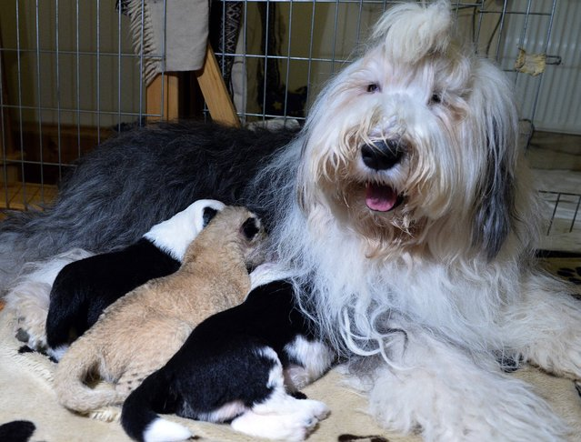 Old English Sheepdog Carmen nurses her own cubs and lion cub Parys (C) at a private zoo in Wojciechow, Poland on October 9, 2014. The lion cub who was abandoned at birth by his parents has been cuddling up to the shaggy-haired sheepdog and mother-of-five. Parys was born last week at the small zoo in the eastern town of Wojciechow to a mother who showed no interest in nursing him, and a father who gave him one lick and then walked off. (Photo by Janek Skarzynski/AFP Photo)