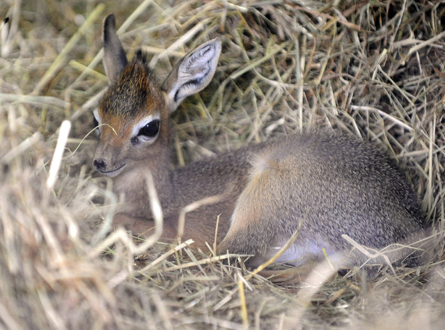 A picture taken on October 16, 2014 shows a new born Kirk's dik-dik at the zoological park of the eastern French city of Amneville. (Photo by Jean-Christophe Verhaegen/AFP Photo)