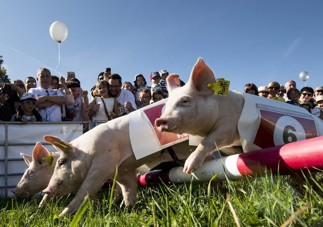 Spectators watch the pig race at the farmer's fair in Ecuvillens, Switzerland, 10 September 2016. The pig race is one of the main attractions of the annual fair. (Photo by Jean-Christophe Bott/EPA)