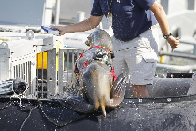 A sea lion with laser and sonar devices attached to its back jumps into a boat during a media demonstration of the International Mine Countermeasures Exercise (IMCMEX), at the U.S. Fifth Fleet naval base, part of U.S. Central Command headquarters in Manama, November 2, 2014. (Photo by Hamad I. Mohammed/Reuters)