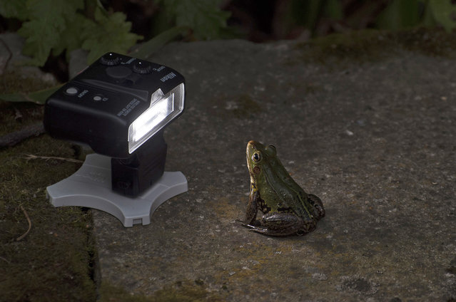 A wild frog poses for the camera pictured by James Sharp for the Comedy Wildlife Photo Awards 2016, Poland, August, 2014. (Photo by James Sharp/Barcroft Images/Comedy Wildlife Photo Awards)