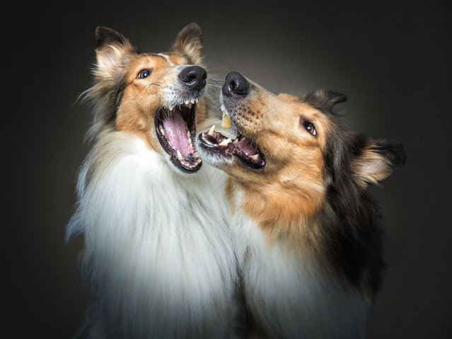 Collies. (Photo by Vieler Photography/Caters News Agency)