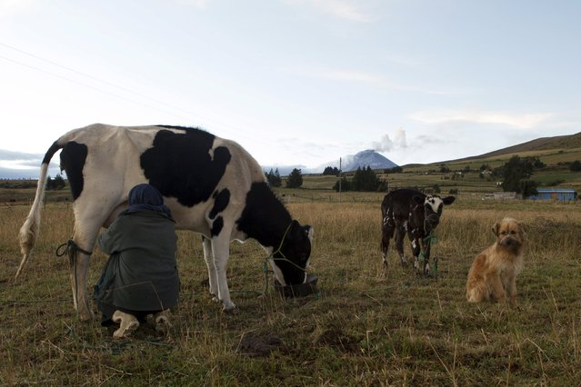 Ines Changoluisa milks her cows in the northern outskirts of the Cotopaxi Volcano, one of the world's highest active volcanoes, at El Pedregal, in Ecuador, October 22, 2015. (Photo by Guillermo Granja/Reuters)
