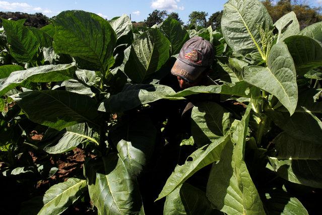 A farmer picks tobacco leaves at a tobacco farm in Pinar del Rio province, Cuba on February 28, 2018. (Photo by Reuters/Stringer)