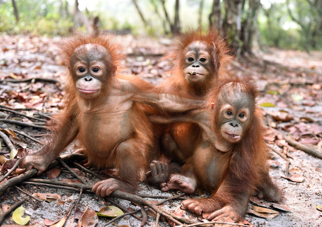 This handout picture taken and released by the Borneo Orangutan Survival Foundation (BOSF) on October 26, 2015 shows baby orangutans, which had previously suffered from respiratory problems, playing at a nursery in the rehabilitation centre operated by the BOSF on the outskirts of Palangkaraya in Central Kalimantan. (Photo by AFP Photo/Borneo Orangutan Survival Foundation/Indrayana)