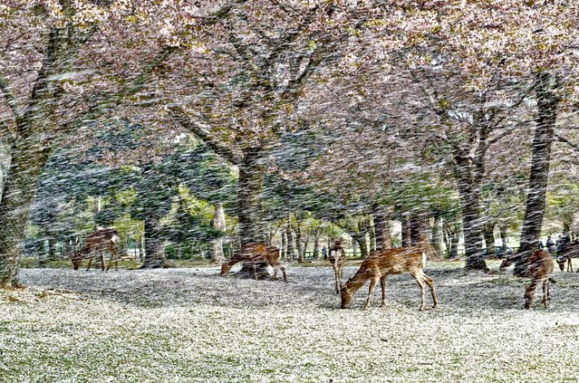"""Deer under falling Cherry Blossom Petals"". I sat down a stump for rest after stroll in Nara Park, and watching deer. They were eating fallen cherry blossom petals in peacefully. Suddenly strong wind blew out and cherry blossom petals were started to fall on the deer. It is like a shower of falling cherry blossom petals. It is called ""Hana Fubuki"" in Japanese, literally means flower snowstorm. Location: Nara Park, Nara Prefecture, Japan. (Photo and caption by Hisao Mogi/National Geographic Traveler Photo Contest)"