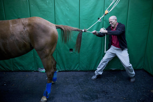 "In this Wednesday, December 2, 2015 photo, Dr. Gal Kelmer, head of the department of large animals, unties a horse after its operation at the University's Koret School of Veterinary Medicine in Rishon Lezion, Israel. ""Horses have an instinctive response of flight from danger"", Kelmer said. ""The minute they wake up they start trying to stand and run, even if they don't have control of their limbs. So then they fall"". (Photo by Oded Balilty/AP Photo)"